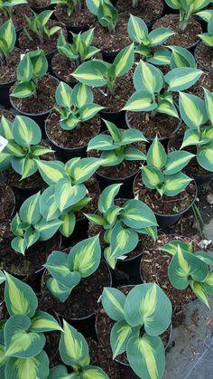 June Hosta Plant Gardening Hosta June Hosta Plants Plants