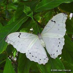 White Morpho (Morpho Polyphemus)