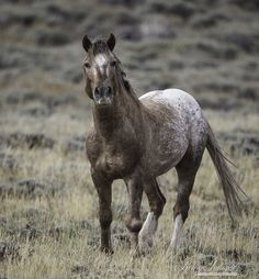 Wild Appaloosa stallion, Bronze Warrior by Living Images by Carol Walker Soul of Horses Cute Horses, Pretty Horses, Horse Love, Beautiful Horses, Animals Beautiful, Appaloosa Horses, Wild Mustangs, Horse World, Horse Pictures