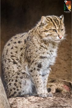 Fishing Cats live up to their name- they are excellent fishers! Spending most of their time near or in the water, these rainforest cats have even been seen swimming underwater to grab a duck's legs from underneath! Big Cats, Cool Cats, Rainforest Habitat, Exotic Cats, Fishing Pictures, Animals Of The World, Cat Life, Pet Birds, Habitats