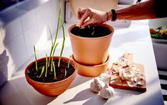 5 Plants to grow from Kitchen scraps! Garlic shown that's started to sprout and put shoot side up in some soil.