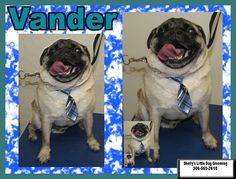 Vander is such a sweet Pug! :) Video: https://www.facebook.com/ShellyLbrn3/videos/1315683798504737/