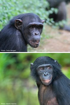 The differences between chimpanzees and bonobos are pretty subtle. Bonobos tend to be smaller than chimps, and have longer legs, shorter arms, and a narrower trunk comparatively. They also have a rounder skull and flatter face.