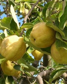 I love (love love) my quince tree, we've got a small one in the garden, but it's loaded with fruit! Trees And Shrubs, Trees To Plant, Vegetable Garden, Garden Plants, Linden Leaf, Vegetables Photography, Organic Fruits And Vegetables, Eat Fruit, Exotic Fruit