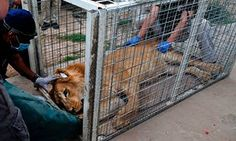 Members of the international animal welfare charity Four Paws treat Simba, a lion abandoned at Muntazah al-Nour zoo in Mosul.