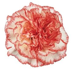 Cream & Pink carnation. $99 for 100 stems.