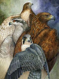 Four North American Raptors by Brenda Lyons - Brenda Lyons Illustration