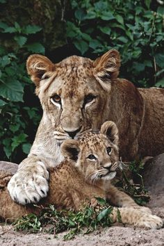 Lion cub relaxing with mom Big Cats, Cats And Kittens, Cute Cats, Funny Cats, Lion Pictures, Cute Animal Pictures, Beautiful Cats, Animals Beautiful, Cute Baby Animals