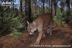 Florida Panther | Florida-panther-walking-through-habitat.jpg