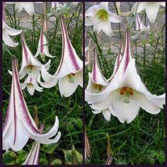 Buy+Lilium+formosanum+'Ivory+Trumpet':+Unusual+Garden+Plants+Direct+from+PlantsToPlant
