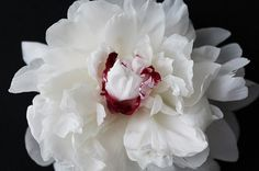 Floral Photography Peonies. White Peony Wall by PetalsandJasmine
