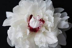 Floral Photography Peonies. White Peony Wall by PetalsandJasmine