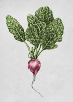 Radish Linn Tordestam Illustration & Grafisk form -
