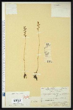 Cynorkis sacculata