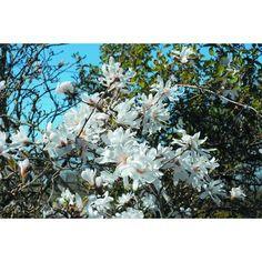 Stjernemagnolia En middel stor busk med eksotiske, stjerneformede, hvite, duftende blomster i april-mai. Best i veldrenert, jevnt fuktig, humusrik jord. Tåler luftforurensing og kalkholdig jord.