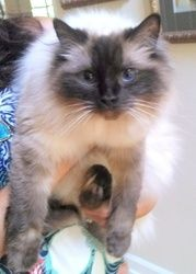 z* Courtesy Posting* Bella is an adoptable Ragdoll Cat in Waxhaw, NC.   Meet Bella, a 5-year-old Ragdoll cat (with papers). She is a super sweet and gentle cat. She is very un-cat like in her disposit...