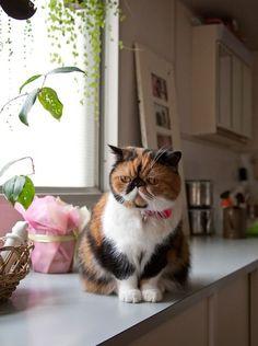 look how cute...little grumpy looking too =) #persiancatshorthaired