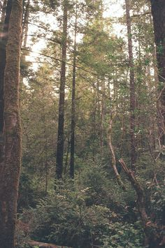 Mendocino's Pygmy Forest - 35mm SLR