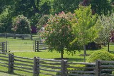 I planted several red American horse chestnut trees at the farm and they are in glorious bloom.