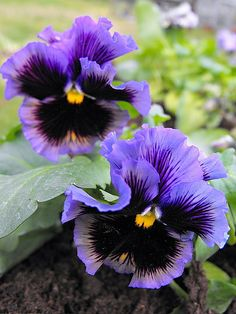 pansies and violas : Pansies In Barrow : Fantastic pictures from real gardens to inspire your garden. Flowers Nature, Exotic Flowers, Purple Flowers, Beautiful Flowers, Hybrid Tea Roses, Cactus Flower, Pansy Flower, Yellow Roses, Pink Roses