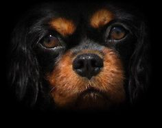 Black and tan Cavalier - simply gorgeous!