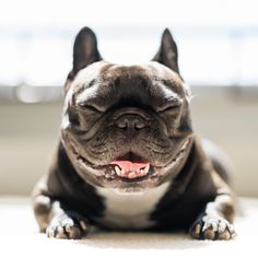"""""""Smiling Frenchie"""" by Nathan Camarillo"""