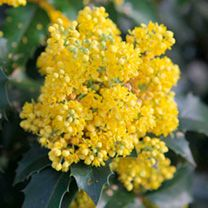 Mahonia aquifolium Plant - Apollo - 297456 - View All Trees and Shrubs - Trees Shrubs Hedging - Gardening Low Growing Shrubs, Sutton Seeds, Ground Cover Plants, Edible Flowers, Trees And Shrubs, Apollo, Yellow Flowers, Green Leaves, Evergreen
