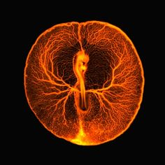 Fluorescence micrograph shows the vascular system of a developing chicken embryo, two days after fertilisation