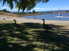 Geese at Shoreline Park
