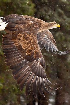 Golden Eagle via bonnuz.blogspot.com