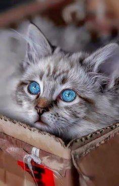 Blue eyed kitty....