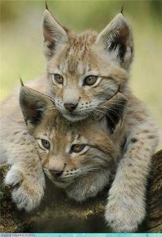 lynx kittens..
