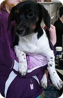 Southern, NH - Beagle/Shih Tzu Mix. Meet Bailey a Puppy for Adoption.