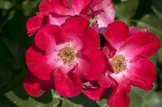 Screaming Neon Red™ Rose