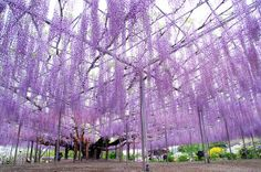 Giant Wisteria Ashikaga Flower Park