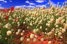 West Australian wildflowers in the desert - even in the most arid conditions, they bloom extravagantly.