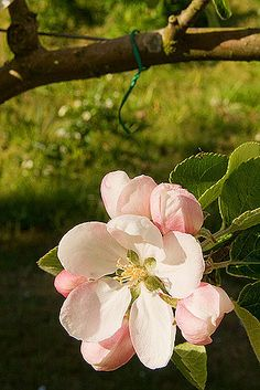 "Apple blossoms mean ""preference,"" though I've also heard that they can mean ""temptation."""