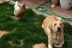 jasper and marsha mello the chicken Jasper Blue, Labrador Retriever, Chicken, Pets, Animals, Labrador Retrievers, Animales, Animaux, Labrador