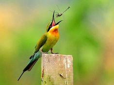 One of bee-eaters' favorite food, or at least what we perceive as its favorite, is dragonflies. This is because photographers love to document these birds in the act of manipulating a dragonfly prior to swallowing it after its successful aerial chase.