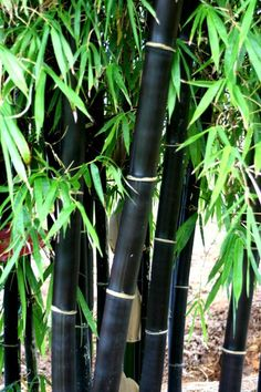 New canes emerge green and turn ebony black within two years. Black bamboo should be protected from wind if possible. The culms are not as erect in shaded sides as some other species and tend to weep or arch over. Pruning can correct this behavior. Top and foliage damage occurs in the low teens during dry winds. Sun to Part Shade.  Perennial   Ht 20-25', Space 3-4' 3 Gal Pot