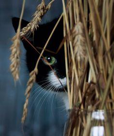 (ᵔᴥᵔ) Harvest Kitty