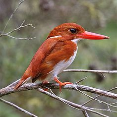 Madagascar Pygmy Kingfisher (Corythornis madagascariensis) - endemic to Madagascar and found in western dry deciduous forests Small Birds, Little Birds, Colorful Birds, Pretty Birds, Love Birds, Beautiful Birds, Common Kingfisher, Kinds Of Birds, Mundo Animal