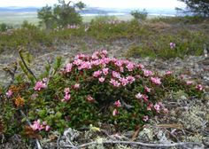 Creeping azalea. Pallas-Yllästunturi National Park, Lapland of Finland. - Sielikkö Photo: Uuvana / Luontoon.fi