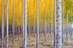 Birch Trees  - Large Canvas Photography - Large Canvas Wall Art