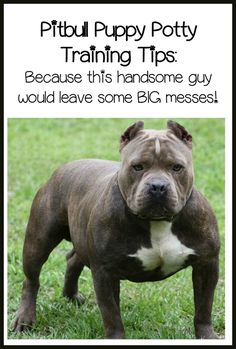 Today, in pitbull puppy training tips, we'll discuss how to potty train your puppy fast. There's no magic bullet, but these tips can help make it easier.