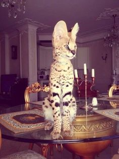 A Savannah cat, which originally comes from a cross between a serval and a siamese. Beautiful Cats, Animals Beautiful, Kittens Cutest, Cats And Kittens, Animals And Pets, Cute Animals, Serval Cats, Caracal, Giant Cat
