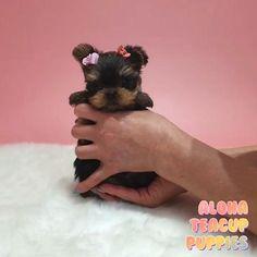 Micro Teacup Yorkie, Mini Yorkie, Toy Yorkie, Teacup Yorkie For Sale, Teacup Puppies For Sale, Teacup Chihuahua, Kittens And Puppies, Yorkie Puppies For Adoption, Yorkie Puppy For Sale
