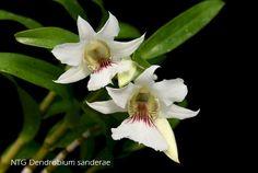 Dendrobium sanderae