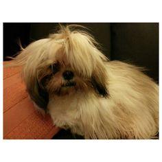 Luna #shihtzu #dog #family #philippines #シーズー#犬#フィリピン