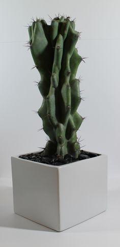 Cereus peruvianus. Buy it from www.modgreenus.com